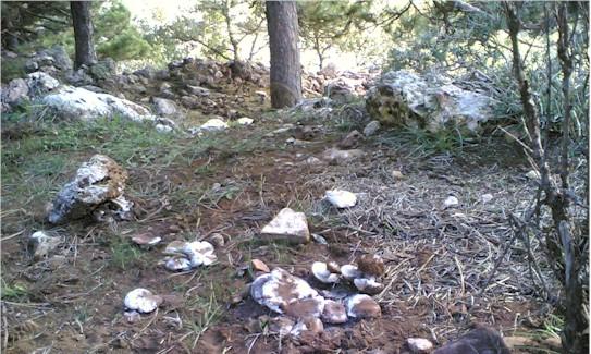 Calocybe constricta, 2° raccolta, stesso luogo, 3 settimane dopo.