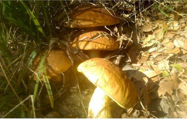 Funghi Leccini